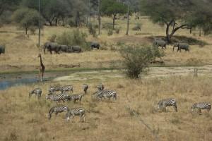 Elephants, giraffe, and zebras at Tarangire National Park, Tanzania.