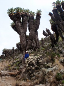 A forest of Dendrosenecio kilimanjari.