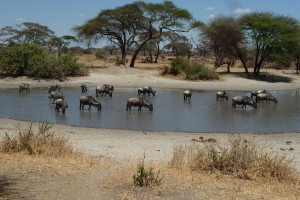 A watering hole with wildebeests and zebras.