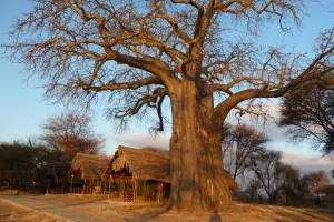 Our luxury tent (under a baobab tree) at Tarangire Safari Lodge.