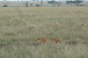 Lioness stalking a herd of gazelles.