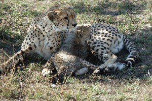 A vigilant mother with her cub.
