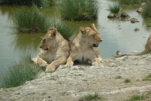 Lions resting by the pond.