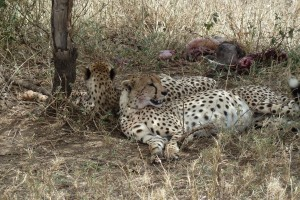 Cheetahs with full bellies!