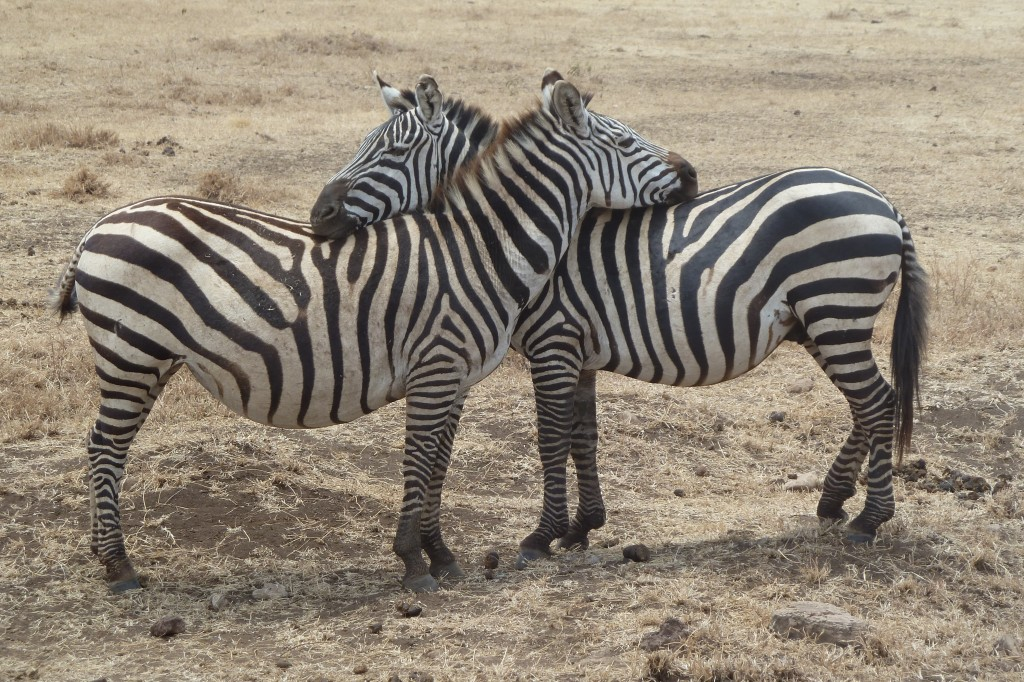 Zebra hug.