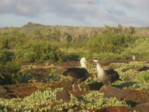 Courting Albatrosses