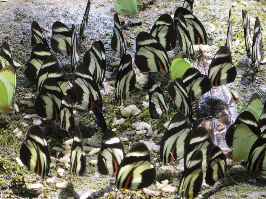 Butterflies Podocarpus Zamora 2