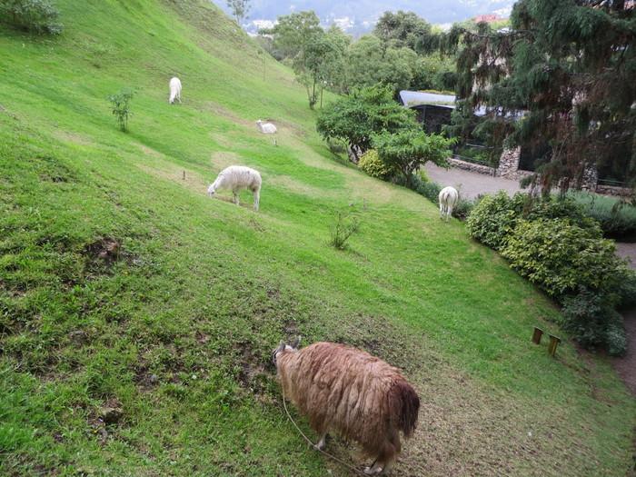 Grazing alpacas.