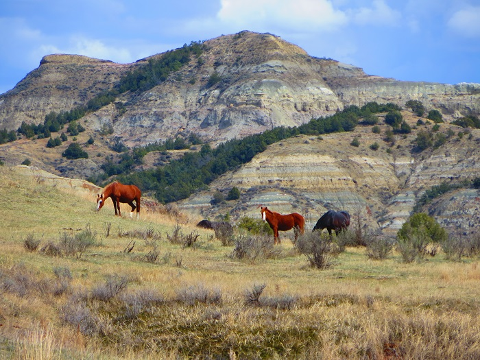 Wild horses roam through Theodore Roosevelt National Park.